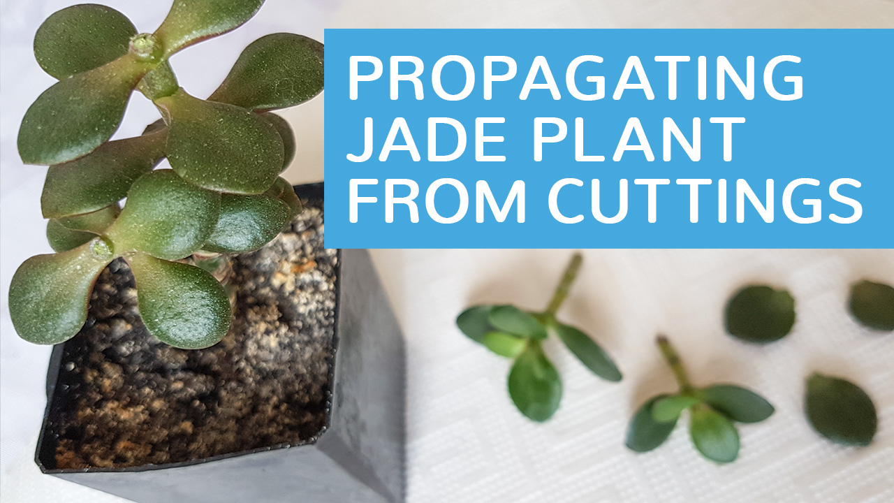 how to keep a jade plant alive